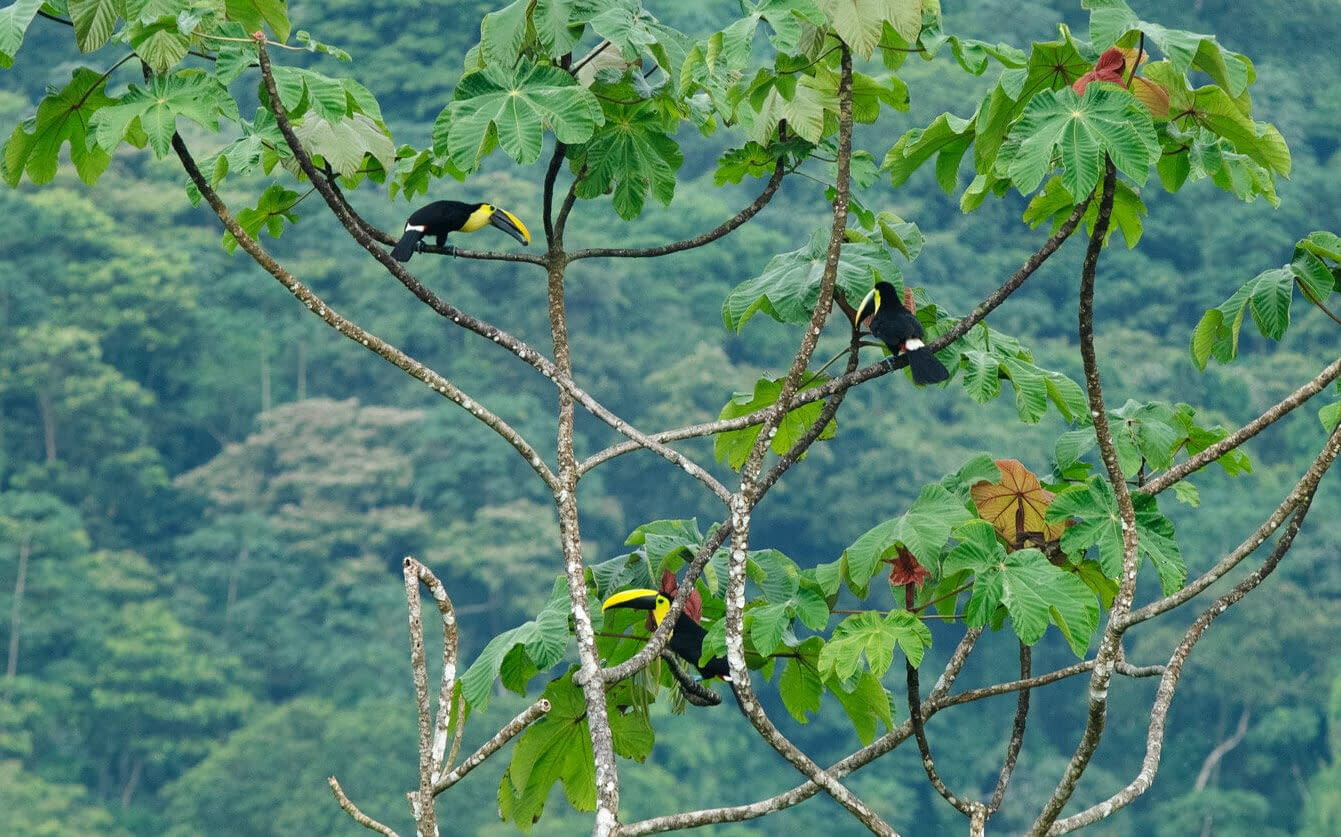 toucans, toucan, rainforest, mompiche, ecuador