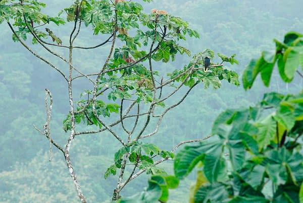 Tucan On Jungle Tree